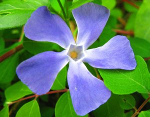 blue_flower_0