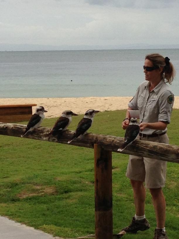 Kookaburra feeding!