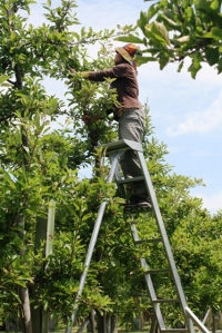 When I was thinning apples I had a Discman... and it sucked when it fell off from one of these high ladders!!!